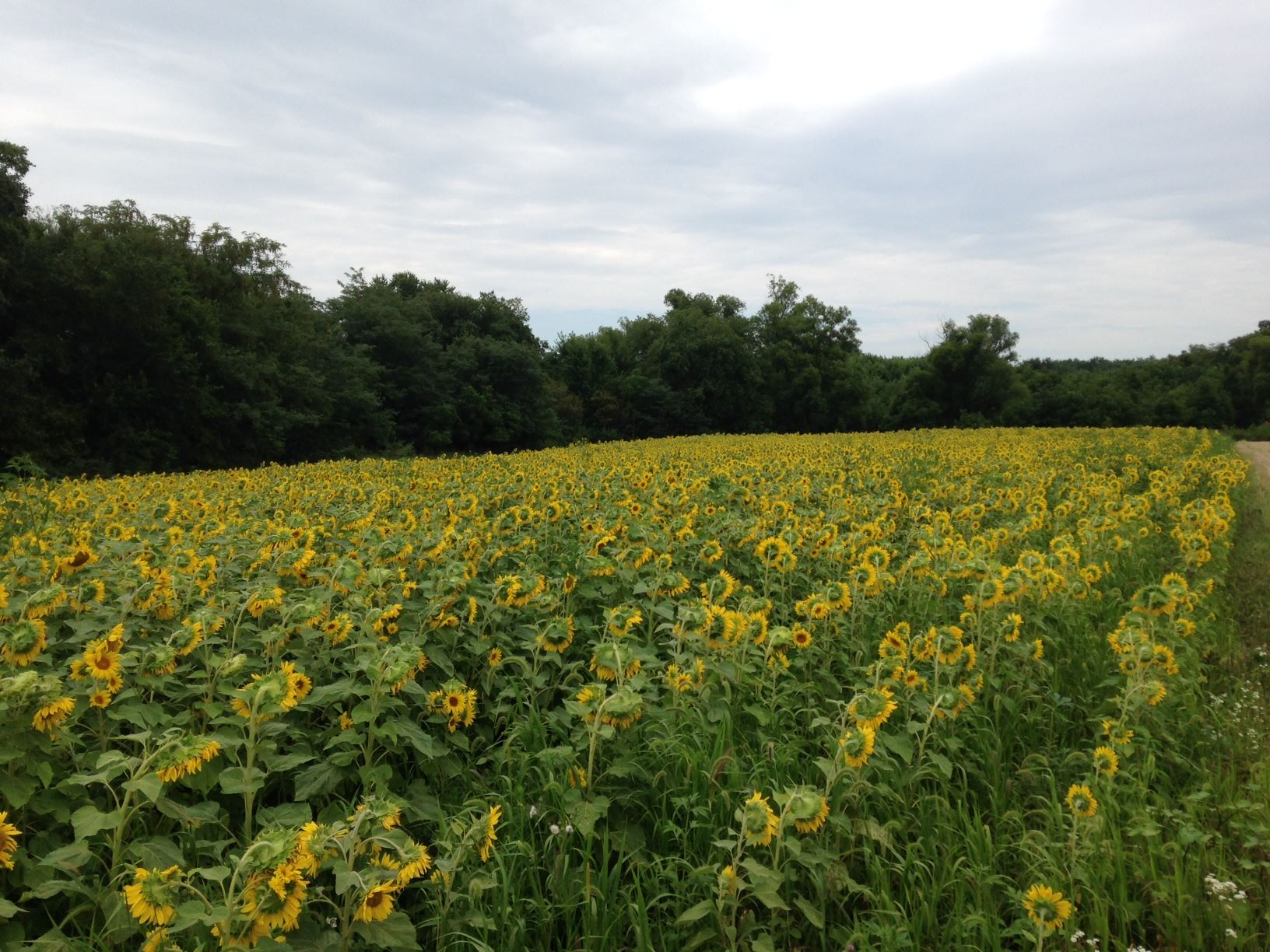 sunflower food plot