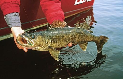 walleye caught by boat