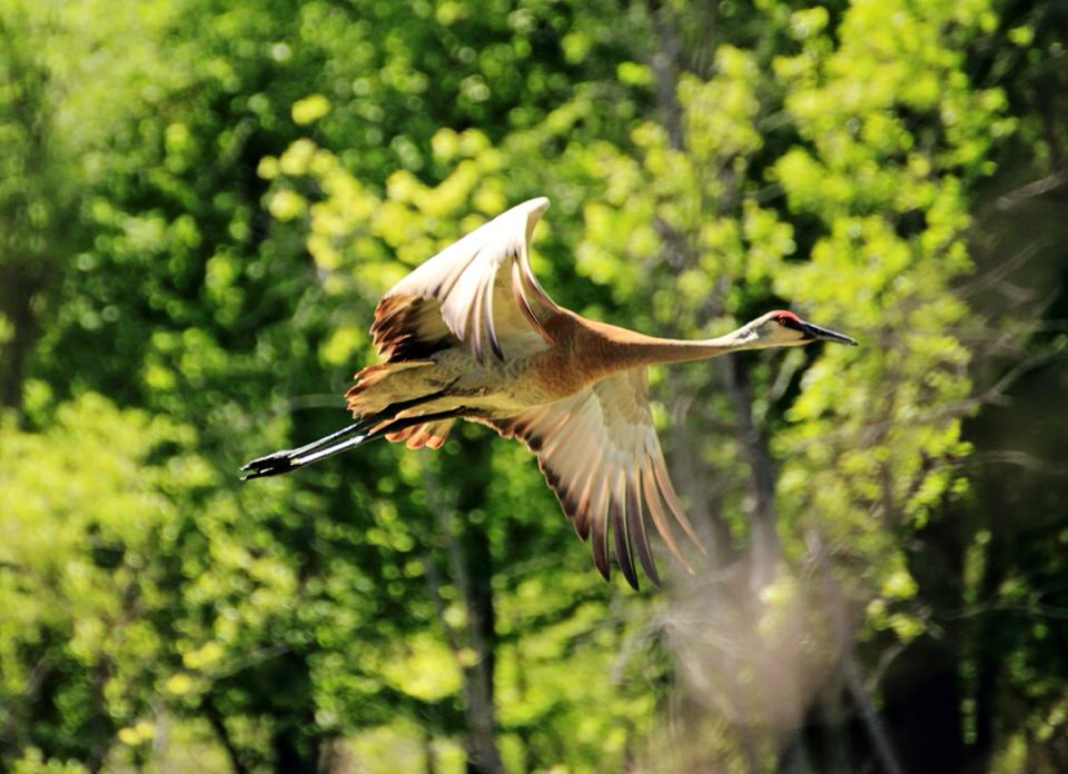 Sandhill Crane in flight at Matsell Bridge wetland